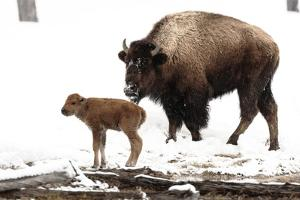 Yellowstone National Park. A female bison feeds while her new born calf shivers in the spring snow. by Ellen Goff