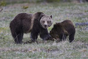 Yellowstone National Park, a grizzly bear sow digs in the grass with her cub. by Ellen Goff