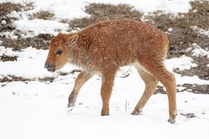 Yellowstone National Park. A newborn bison calf standing in a spring snow storm. by Ellen Goff