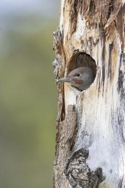 Yellowstone National Park, a young northern flicker peeks out of its nest hole. by Ellen Goff