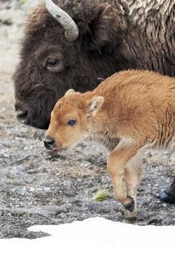 Yellowstone National Park. American bison calf standing next to its mother. by Ellen Goff