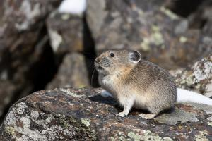 Yellowstone National Park, American pika sitting on a boulder. by Ellen Goff