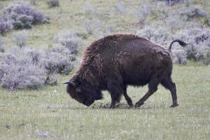 Yellowstone National Park. An American bison cow acts in a frenzied manner. by Ellen Goff