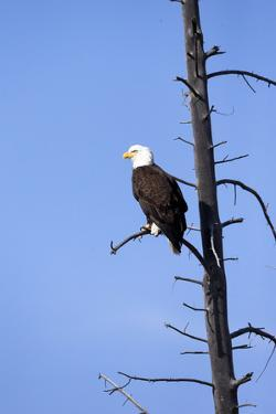 Yellowstone National Park, bald eagle perching on the limb of a dead tree. by Ellen Goff