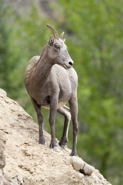 Yellowstone National Park, female bighorn sheep looking down from a steep perch. by Ellen Goff