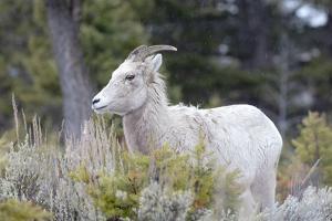Yellowstone National Park, female bighorn sheep. by Ellen Goff