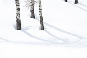 Yellowstone National Park, Lamar Valley. Aspen trees cast shadows on the snow. by Ellen Goff