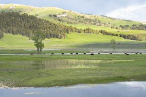 Yellowstone National Park, Lamar Valley. Bison enjoying the green grass of spring. by Ellen Goff