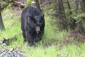 Yellowstone National Park, large black bear sow walking among the green grass of early spring. by Ellen Goff