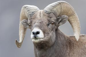Yellowstone National Park. Portrait of a bighorn ram. by Ellen Goff