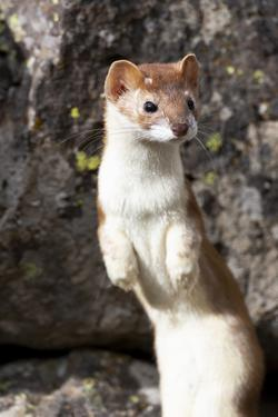 Yellowstone National Park, portrait of a long-tailed weasel. by Ellen Goff