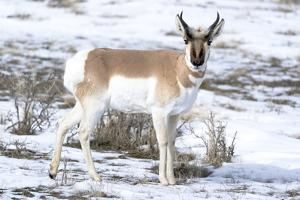 Yellowstone National Park, portrait of a male pronghorn in winter snow. by Ellen Goff