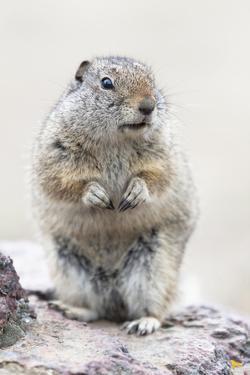 Yellowstone National Park, Richardson's ground squirrel. by Ellen Goff