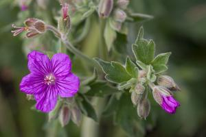 Yellowstone National Park, sticky geraniums blossom in the spring. by Ellen Goff