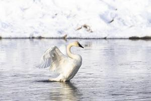 Yellowstone National Park, trumpeter swan flaps its wings after preening. by Ellen Goff