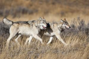 Yellowstone National Park, two gray wolves move through the dry grass. by Ellen Goff