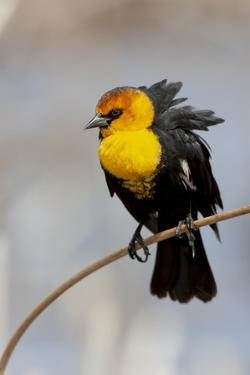 Yellowstone National Park, yellow-headed blackbird perched on a reed. by Ellen Goff