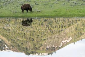 Yellowstone NP, Lamar Valley. American bison enjoying the green grass of spring. by Ellen Goff