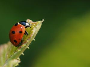 7-Spot Ladybird on Bramble Leaf, Middlesex, UK by Elliot Neep