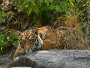 Bengal Tiger, 11 Month Old Cub on Rocks, Madhya Pradesh, India by Elliot Neep