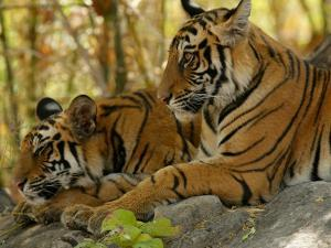 Bengal Tiger, 11 Month Old Cubs, Madhya Pradesh, India by Elliot Neep