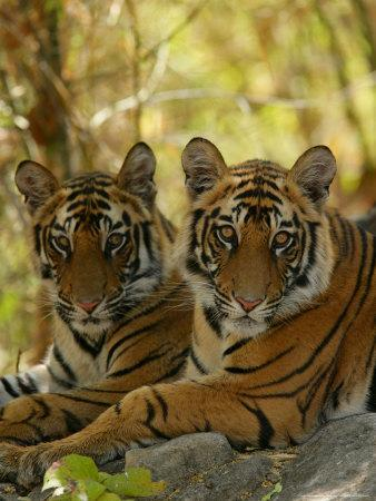 Bengal Tiger, 11 Month Old Juveniles, Madhya Pradesh, India