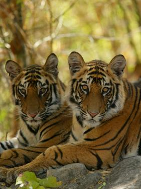 Bengal Tiger, 11 Month Old Juveniles, Madhya Pradesh, India by Elliot Neep