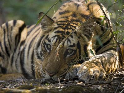 Bengal Tiger, Close-up Profile of Large Male Tiger Laying on Ground, Madhya Pradesh, India