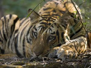 Bengal Tiger, Close-up Profile of Large Male Tiger Laying on Ground, Madhya Pradesh, India by Elliot Neep