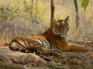 Bengal Tiger, Female Resting, Madhya Pradesh, India by Elliot Neep
