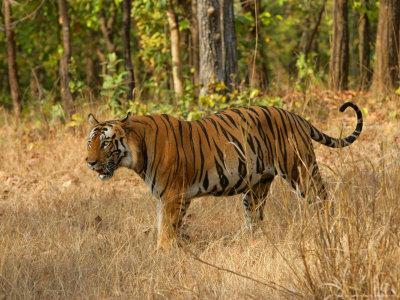 Bengal Tiger, Male Walking in Grass, Madhya Pradesh, India
