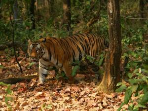 Bengal Tiger, Male Walking, Madhya Pradesh, India by Elliot Neep