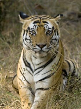 Bengal Tiger, Portrait of Male Tiger, Madhya Pradesh, India by Elliot Neep