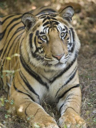 Bengal Tiger, Portrait of Male Tiger, Madhya Pradesh, India