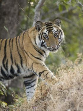 Bengal Tiger, Portrait of Young Male, Madhya Pradesh, India by Elliot Neep