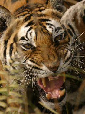 Bengal Tiger, Snarling, Madhya Pradesh, India by Elliot Neep