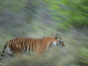 Bengal Tiger, Tigress in Grass, Madhya Pradesh, India by Elliot Neep