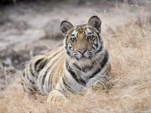 Bengal Tiger, Young Female Lying in Soft Grass, Madhya Pradesh, India by Elliot Neep