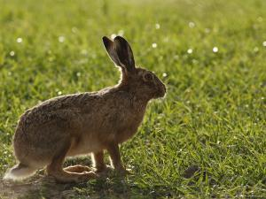 Brown Hare, Backlit Brown Hare in Green Grass, Lancashire, UK by Elliot Neep