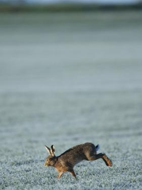 Brown Hare Running Across Frosty Field, Lancashire, UK by Elliot Neep