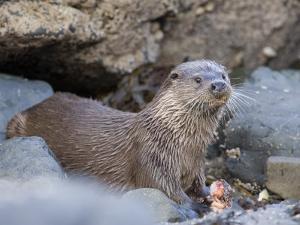 European Otter Eating an Eel on a Rocky Shore, Scotland by Elliot Neep