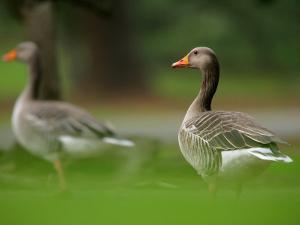 Greylag Goose, Pair of Greylag Geese Side-By-Side in Green Haze of Vegetation, London, Britain by Elliot Neep