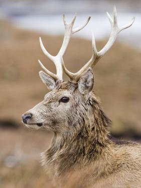Highland Red Deer, Portrait of Stag, the Highlands, Scotland by Elliot Neep
