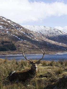 Highland Red Deer, Stag Laying in Grass with Mountainous Backdrop, the Highlands, Scotland by Elliot Neep