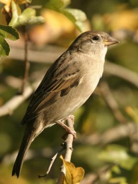 House Sparrow, Male Perching, Middlesex by Elliot Neep