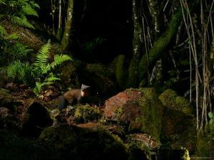 Pine Marten at Night, the Highlands, Inverness-Shire by Elliot Neep