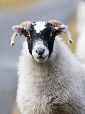 Portrait of Sheep, Scotland by Elliot Neep