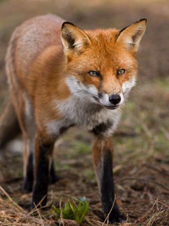 Red Fox, Head on Full-Body Portrait, Lancashire, UK by Elliot Neep