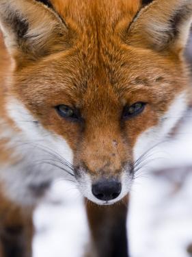 Red Fox, Portrait of Face, Lancashire, UK by Elliot Neep