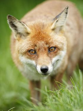 Red Fox, Portrait of Red Fox in Long Green Grass, Sussex, UK by Elliot Neep